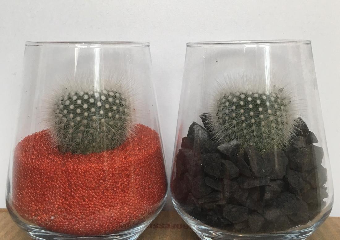 Kerstcactus